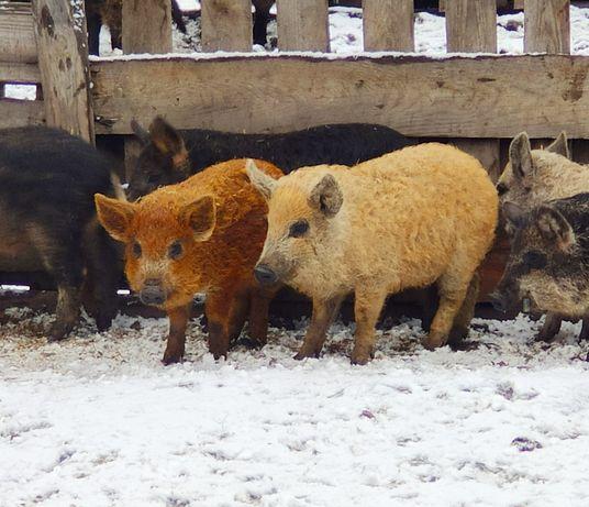 100% МАНГАЛИЦЯ Угорська! венгерская мангалица, поросята, свині.