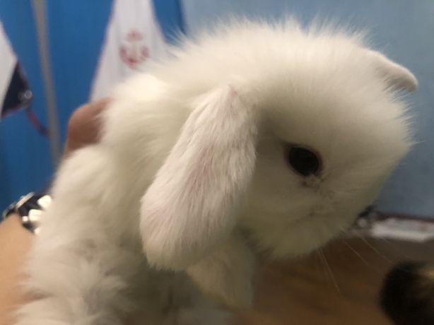 Кролик міні , декоративний Міні ЛОП