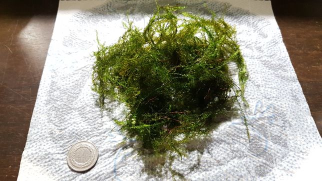 Mech Java Moss kubek 50ml