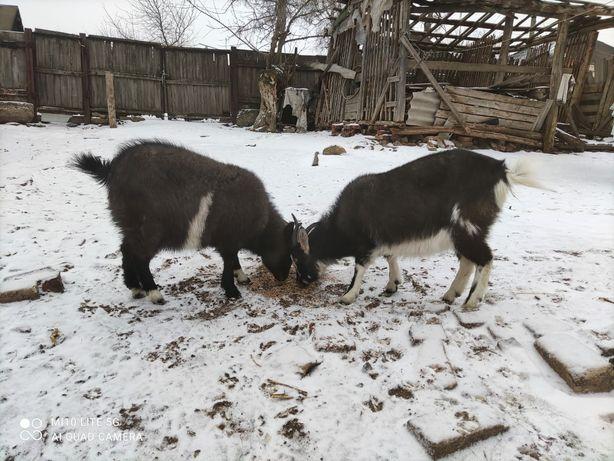Коза 1 рік/козочка молода/кізка