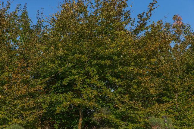 Buk pospolity wysokość 200- 300 cm, obwód pnia 6-8cm, z gruntu
