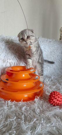Мраморные шотлландские котята, Киев