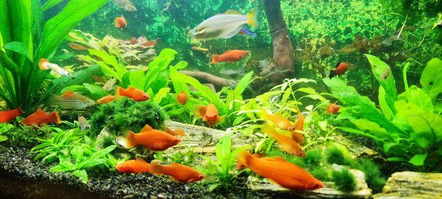 Mieczyk Hellera ryby akwariowe