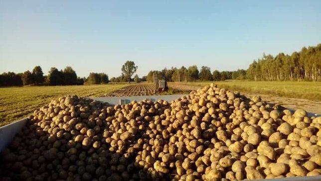 Ziemniaki Bryza bez sztucznych nawozów
