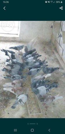 Gołębie ozdobne pocztowe i inne