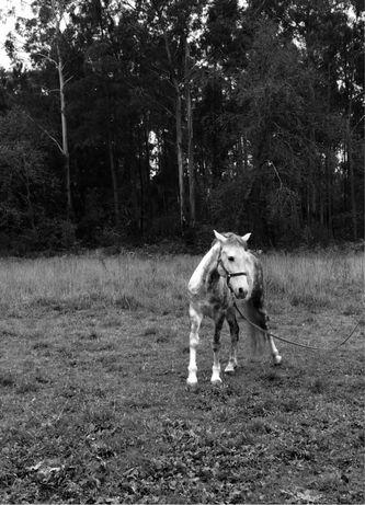 Cavalo cruzado 6 anos