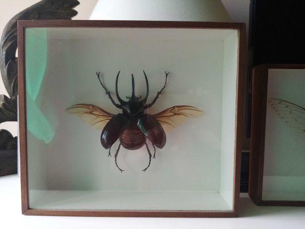 chrząszcz    Rohatyniec chalcosoma