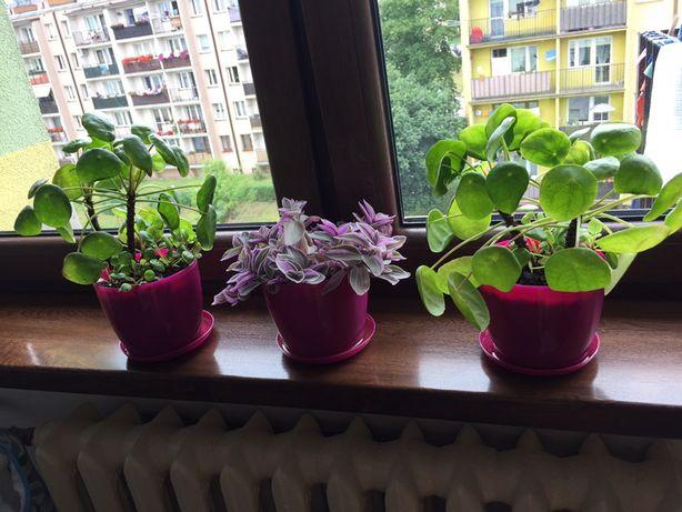 Kwiaty doniczkowe pilea i trzykrotek