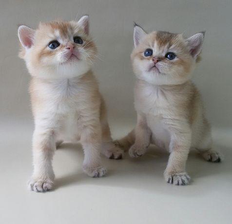 БРИТАНСКИЕ котята.Котик и кошечка ждут своих друзей. Породистые котята
