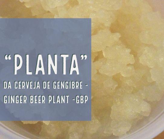 Planta da cerveja de gengibre - Grãos autênticos Ginger Beer Plant