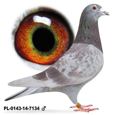 Młode 2021 Para nr 2, 100 % A.M Wiosna gołąb gołębie pocztowe
