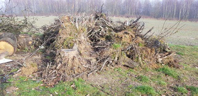 Korzenie drzew po wycince