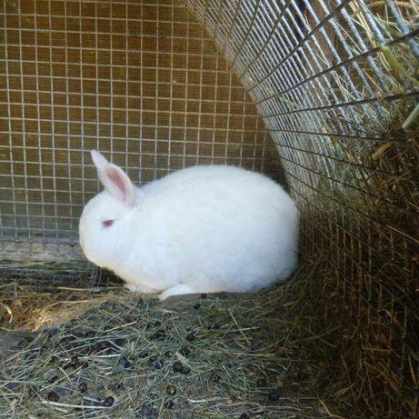 Продам кроликов НЗБ . Самки и самецы . Кровь из Европы