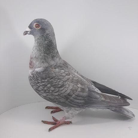 Gołębie pocztowe opal recesywny