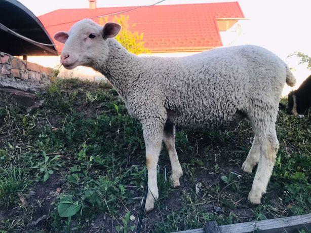 Баран баранчик Лакон овечки овцы вівці