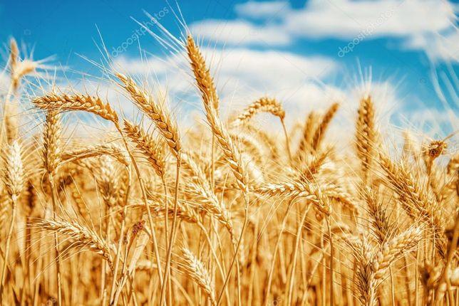 Закупаем зерновые культуры по всей Украине!