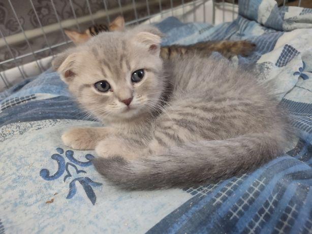 Шотландскиие котята котики