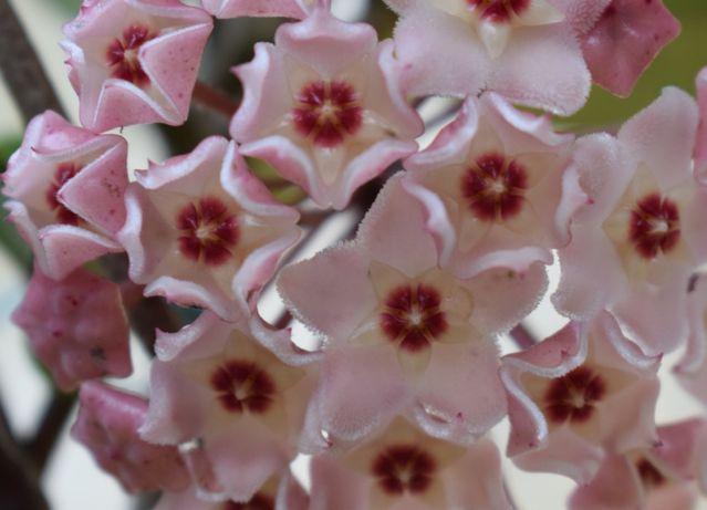 Hoya, flor de cera