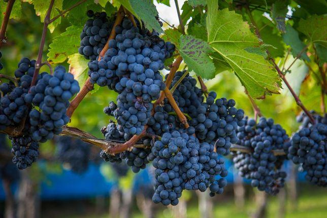 3,5LETNIE Sadzonki Winogron !Już owocujące!Wiele odmian! Winogron CAC
