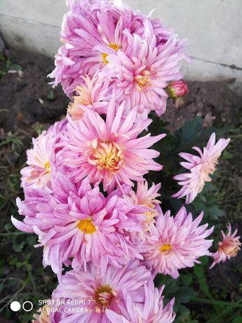 Хризантеми та пеларгонія