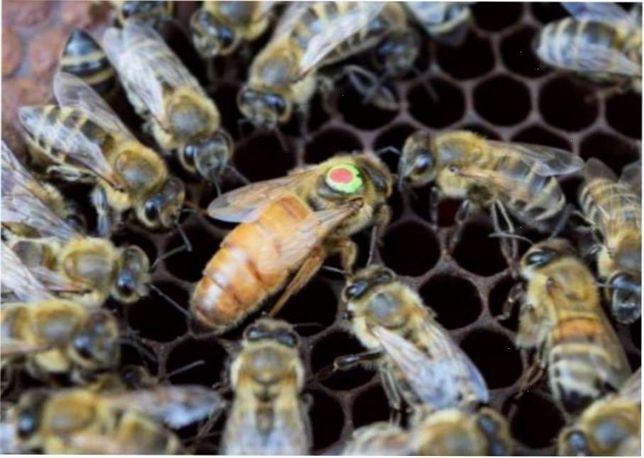 Раннего старта Пчелиные матки Бакфаст-Buckfast