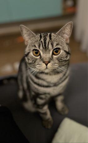 Ухоженый кот ищет кошечку. Вязка