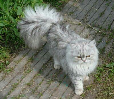 Весенняя вязка-Котик перс шиншилла!