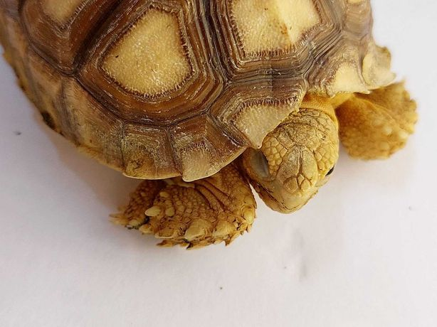 Черепаха сухопутная шпороносная ест траву Подросток Фото цена реальные
