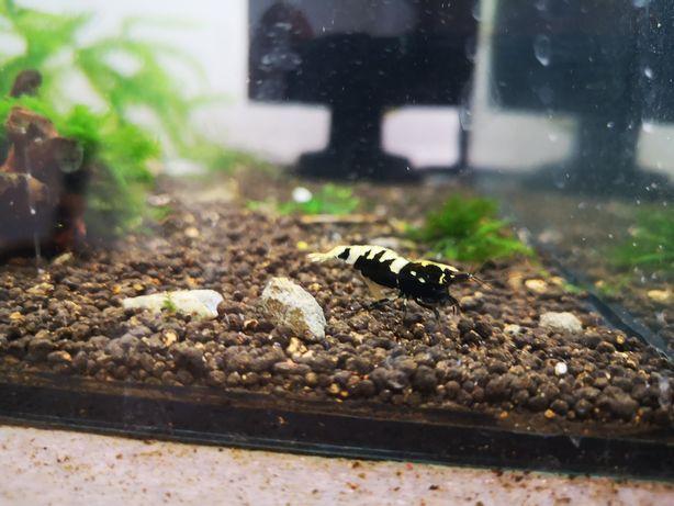 Krewetka Galaxy Fishbone Hodowlane Centrum Skorupiaków Ciołka 35