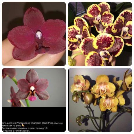 Деточки сортовых орхидей ( моника, раритетная птичка, бабочка лас вега