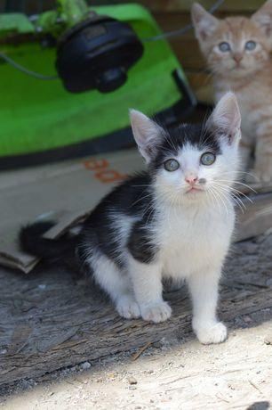 Маленький черно-белый котенок Монро
