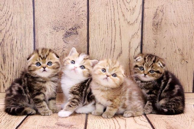 Совершенно очаровательные шотландские котята по разным ценам