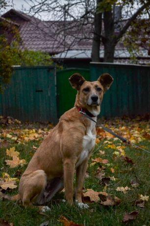 Киев! Найдена собака (сука) рыжего окраса, метис, среднего размера.