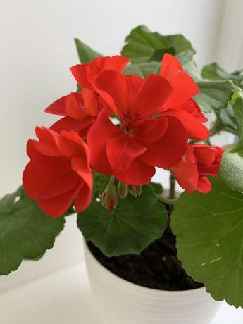 Обмен Пеларгония герань калачик красный белый розовый и др есть фиалка