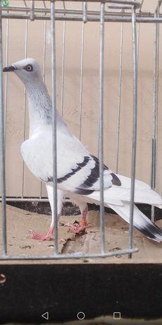 Gołębie ozdobne pasiak samica 20r