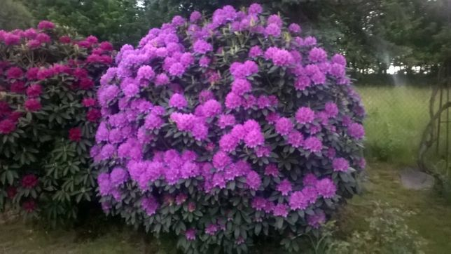 Rododendrony duże , piękne