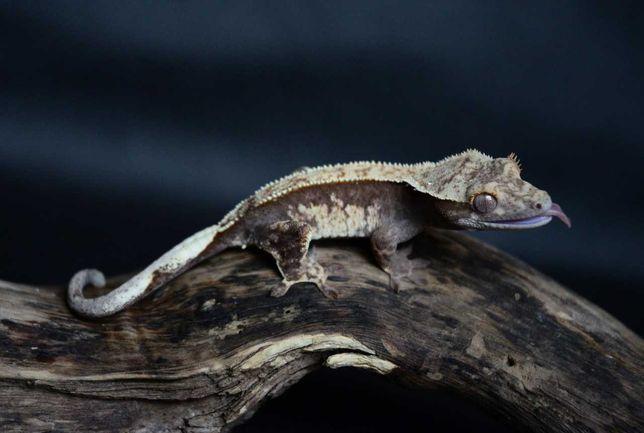 Gekon orzęsiony Correlophus ciliatus młody podrostek gekon orzęsek