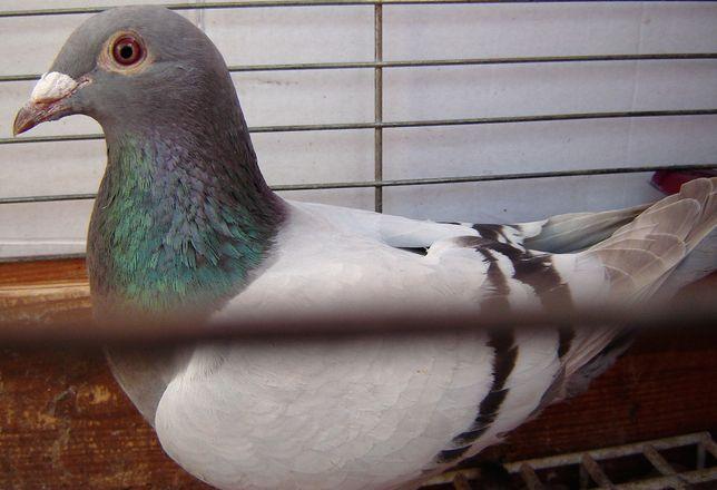 gołębie pocztowe samica Gb.śliczna