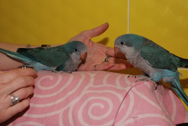 Птичка счастья для всей семьи - Монах. Ручные попугаи. По Украине