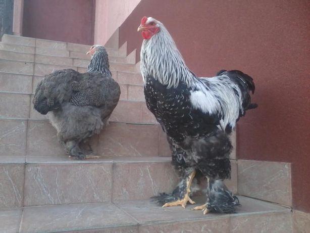 Продам кури, курчата, інкубаційні яйця