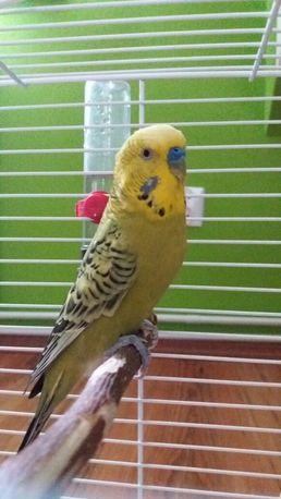 Papuga falista samiec