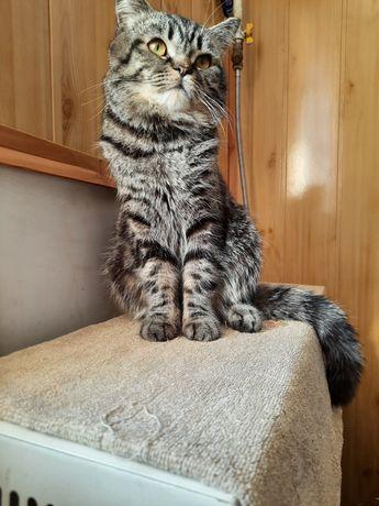Шотландський прямовухий кіт на вязку