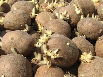 Ziemniaki do sadzenia