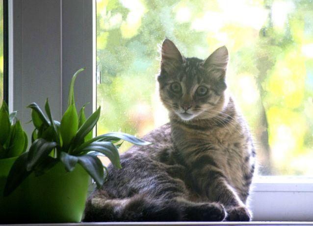 Сибирский котёнок Оскар ищет заботливых родителей!