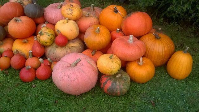 Dynia z przydomowego ogrodu - z uprawy ekologicznej