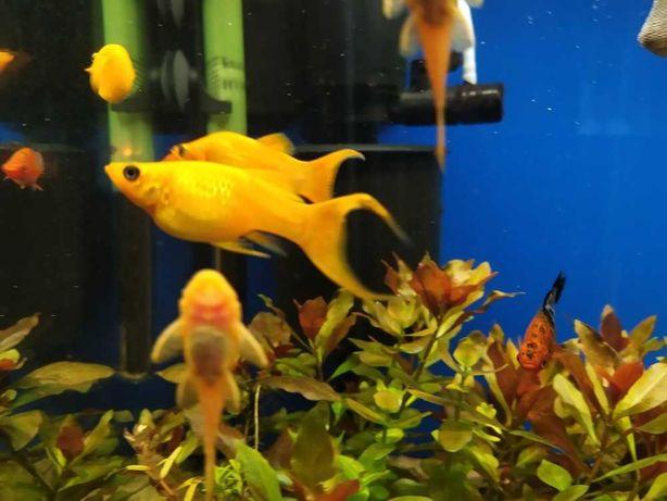 Molinezja złota ryby do akwarium