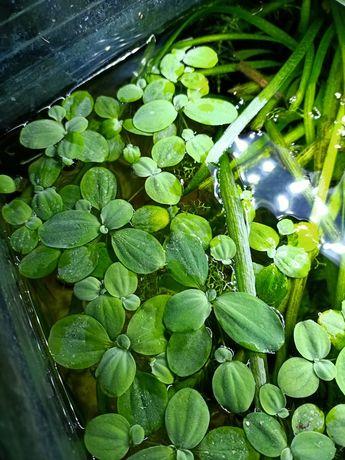 Roślinki z prywatnego akwarium