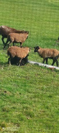 Owce kameruńskie baranki