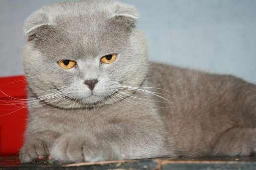 Вязка кота шотландского вислоухого Маркиза