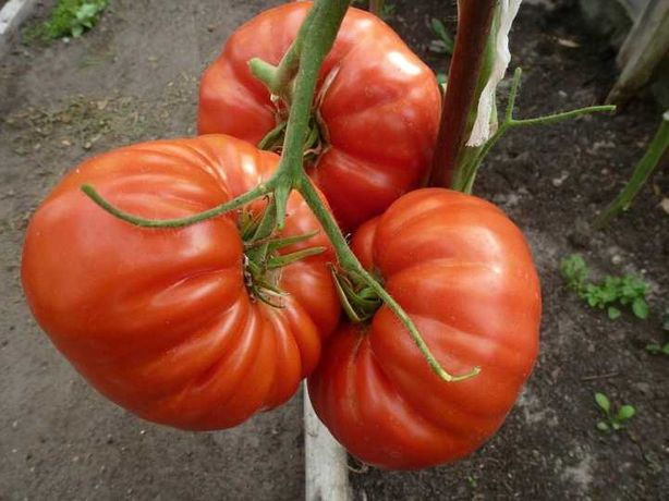MICHAEL'S PORTUGUESE monster sadzonki pomidora